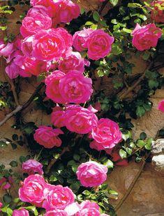 "~In the gardens of Mas de Bérard, hot pink climbing rose  ""Shocking Semini""…"