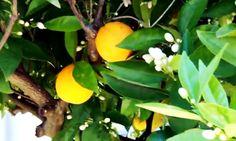 Позже из кожуры апельсина научились делать масло