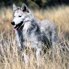 Passez à l'action pour aider les loups ! (WS + DOW) - SPLENDEUR SAUVAGE