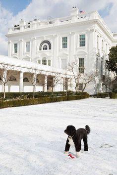 Bo (Obama's Family Dog)