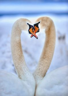 ~~2 Swans by Yusuf Gurel~~
