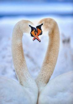 2 Swan by Yusuf Gurel on 500px