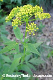 Zizia aurea ~ Golden Alexander  Fantastic plant for beneficial insects
