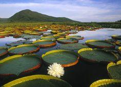 Vitória-régia, na Amazônia
