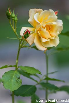 "500px / Photo ""Yellow Rose"" by Paul Sikorski"