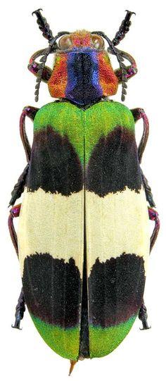 * Demochroa corbetti { Kerremans, 1893 } { Buprestidae }   Thailand, Chiang Mai, VII.2006 *