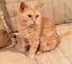 2/23/16 SL- Adopt Nala, a lovely 4 years  6 months Cat available for adoption at Petango.com.  Nala is a Domestic Longhair / Mix and is available at the Anjellicle Cats Rescue in NEW YORK, NY