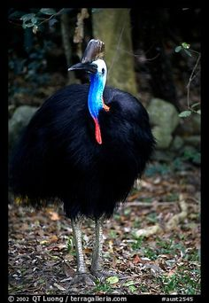 Cassowary - rainforest bird.  I just saw my first ever Cassowaries in far north Queensland, Australia. What fabulous birds they are. So exciting! :)