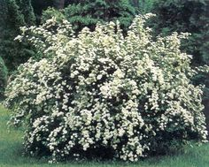 50 surreal landscapes on earth photos small white flowers height 2m zone 4 the bridlewreath spirea is a tough yet beautiful shrub that grows 6 feet high and spreads to 8 feet the arching branches bend to the mightylinksfo