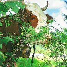 Planinska velikanka. Krava, gore, Slovenija, Očistimo gore, moutains, cow, www.ocistimogore.si
