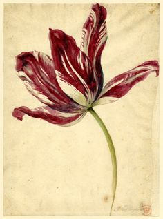 Jan Van Huysum (Dutch, 1682-1749) Flower study - Open Tulip, 1697-1749  Watercolour over Graphite. British Museum.