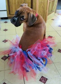 Lollipop the Boxer Pup in a Patriotic tutu for the 4th of July celebrations!