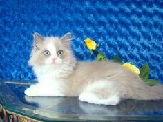 Ashley Blue Bicolor Sepia Female Ragdoll - Ragdoll Kitten for Sale - from www.RagdollKittens.com