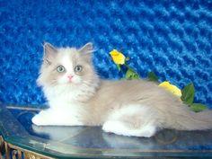 Ashley Blue Bicolor Sepia Female Ragdoll - Ragdoll Kitten for Sale - from www.RagdollKittens.com