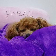 おやすみショコラ Good night  . 遅いのでコメントお気遣いなく . #dogs #dog #doggy #littledog #cutedog #dogsoftheday #poodles #poodle #instapoodles #toypoodles #toypoodle #toypoodlesofinstagram #愛犬 #トイプードル #トイプー #といぷーどる #ふわもこ部 #犬バカ部 #east_dog_japan #わんこなしでは生きていけません会 #おやすみ #goodnight #今日はボジョレーヌーボー #生ハムつまんで未遂だったけど怒られた #少しもらえたけど何とも美味しかった