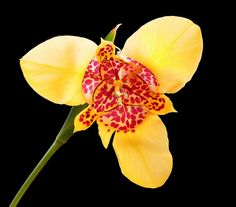 Tigridia pavonia canariensis - Flickr - Photo Sharing!