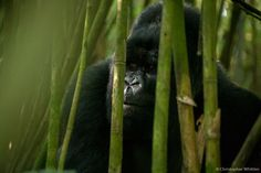 photo of a gorilla looking out through a stand of cane or bamboo