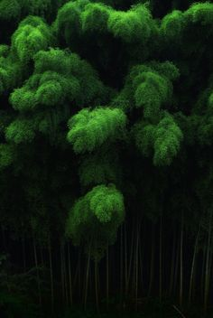 Green bamboo forest at Tenkawa, Nara, Japan...OK...I don't know if this qualifies as a tree...but, I think that I shall never see a thing as lovely as forest of bamboo:ceeanne.