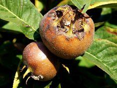 Kicsit ronda, kicsit fura, de télen vitaminbomba! Fruit, Gardening, Lawn And Garden, Horticulture