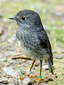 """The North Island robin """"Petroica longipes"""" is a species of Australasian robin endemic to the North Island of New Zealand. Populations are being re-established by translocating them to Wildlife Santuaries on other islands. New Zealand Mountains, Zealand Tattoo, New Zealand Art, Bird Aviary, Tiny Bird, Kinds Of Birds, Colorful Birds, Wild Birds, Bird Watching"""