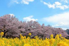 桜と菜の花 2   近所の公園の桜(タカトオコヒガンザクラ)はだいぶ咲きました。