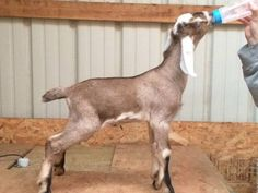 Camp Verde Goats For Sale Arizona Pets Ads Goats For Sale, Camp Verde, Nubian Goat, Goat Care, Arizona, Camping, Ads, Animals, Campsite