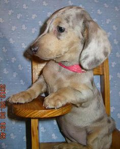 This is dog obedience school?  #doxie #cute #puppy