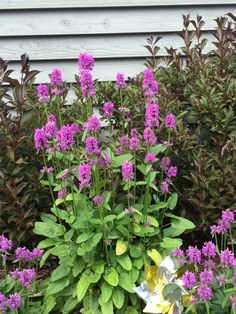 Hummelo Betony (stachys officinalis hummelo): Lovely sun loving perennial related to Lamb's Ears. Wonderful wands of purple flowers in spring. Bright green rosettes of foliage. Disease and drought resistant! Easily divided and shared.