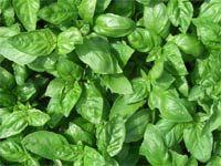 Zasejte bazalku, sklidíte chuť i barvu léta Spinach, Vegetables, Veggies, Vegetable Recipes