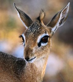 95 Best Dik Dik Images In 2019 Creative Writing Writing A Book