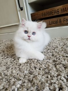 Adorable Persian Kitten with blue eyes Himalayan Kittens For Sale, Persian Kittens For Sale, Kitten For Sale, Kittens Cutest, Cats And Kittens, Cute Cats, Cat With Blue Eyes, Exotic Shorthair, All About Cats