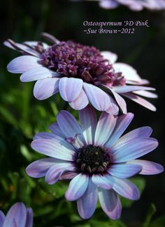 Photo of African Daisy (Osteospermum ecklonis '3D Pink') uploaded by Calif_Sue