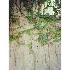 choonhwabaek / 초록으로 물들어 #담쟁이 넝쿨 #담벼락 #lvy #wall / #골목 #식물 / 2013 08 03 /