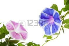 Morning Glory Flower Stock Photo, Picture And Royalty Free Image ...