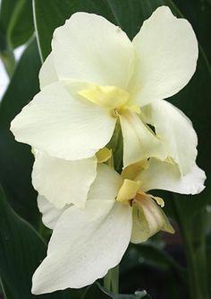 Canna Ermine,buy Canna Lily for sale,Canna Ermine,New Plant-Plant Delights Nursery, Inc.