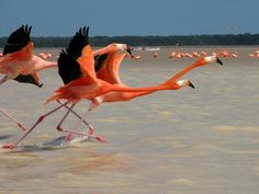 Flamingos taking flight in Mexico - Photos by National Geographic