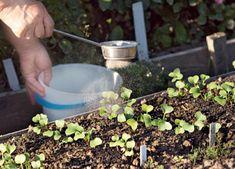 Cum să fertilizați corect plantele cu cenușă! - Sfaturi pentru casă și grădină Beef, Plant, Lawn And Garden, Meat, Steak