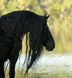 Look at that mane! Gorgeous black horse at rivers edge.