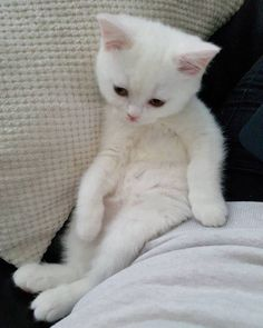 A lovely white kitten, appears sleepy, maybe just awakened.