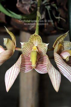 Bulbophyllum Bicolor | bulbophyllum_bicolor+darunie.jpg