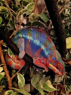 Tye-Died Chameleon - A lizard with many moods.