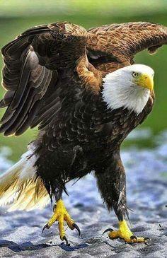La Imponente Aguila.
