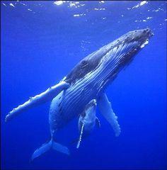 """Whales off from the shores of Maui. La baleine dit à son petit: """"mets-toi à l'abri, il y a des touristes."""""""