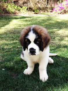 Chien Saint Bernard, St Bernard Puppy, Big Dogs, I Love Dogs, Cute Dogs, Free Puppies, Dogs And Puppies, Doggies, Cute Animal Pictures