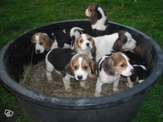 Chiot type Beagle Animaux Manche - leboncoin.fr