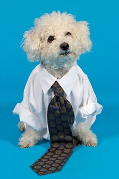 Their work attire would constantly be covered in hair | Community Post: If Dogs Worked In Offices #officepet