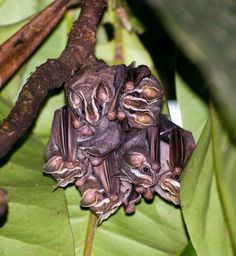 Tent making bats (by atdahl) get their name from their behavior of constructing 'tents' from palm and banana leaves where they roost in groups during the day.