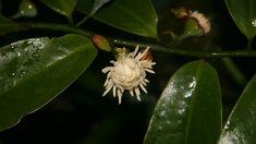 Bolwarra / Native guava - Eupomatia laurina