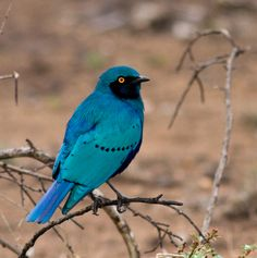 feathersandbeaks:    This is the Greater Blue-eared Glossy-starling (Lamprotornis chalybaeus)