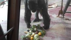 Bristol Zoo | Jock the Gorilla being fed